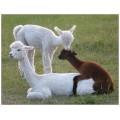 Alpaca postcard - Naughty cria