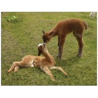 Alpaca postcard - Kissing cria