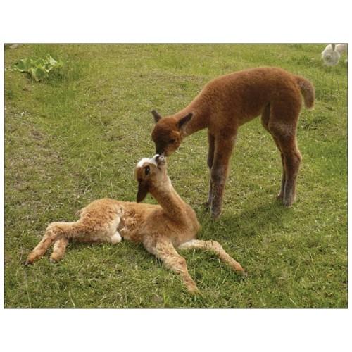 Alpaca postcard - Kissing cria