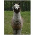 Alpaca postcard - Gunsmoke standing