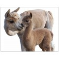 Alpaca postcard - Kiss me mommy