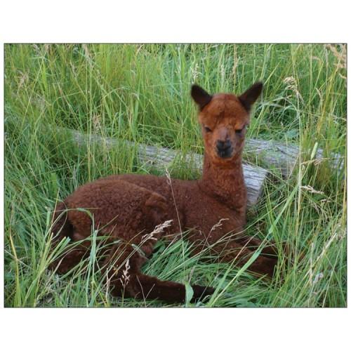 Alpaca postcard - Roquette