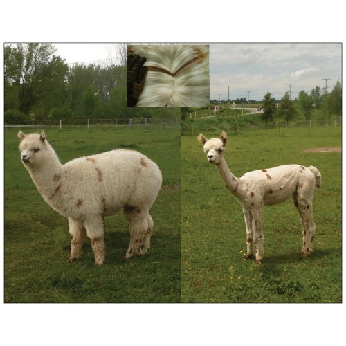 Alpaca postcard - Picasso shearing