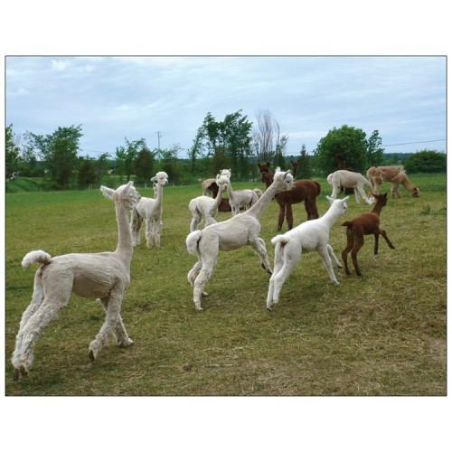 Alpaca postcard - Summer pronking