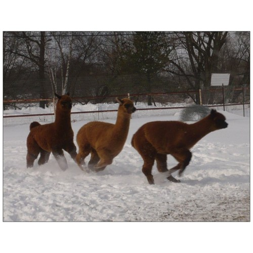 Alpaca postcard - Winter pronking