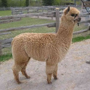 Atika-female-alpaca-before-shearing-at-11-months-old