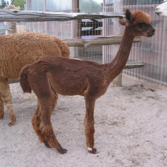 Catou-female-alpaca-after-shearing