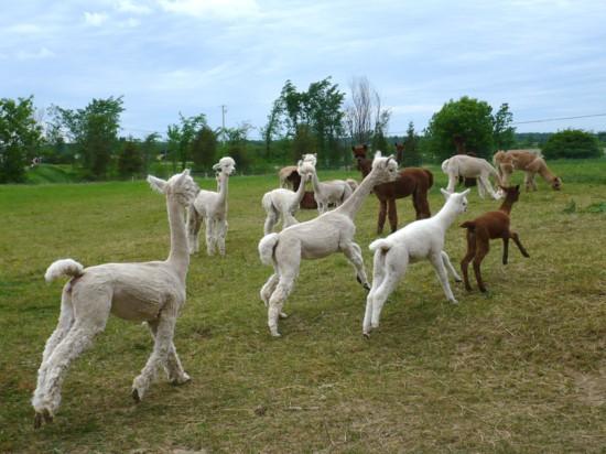 Alpagas femelles et crias chez AlpagAdore