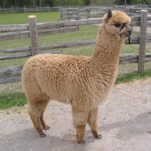 Atika-female-alpaca-before-shearing-at-11-months-old