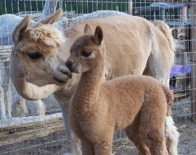 Atika-female-alpaca-kissing-mommy-Amber