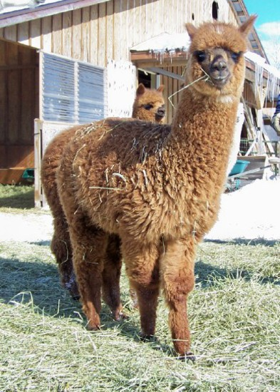 Catou-female-alpaca-before-shearing