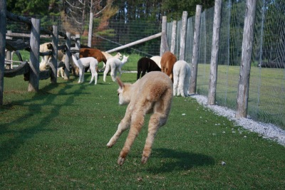 Talya-flying-alpaca-female-cria